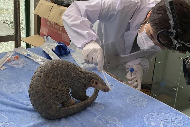 Prélèvement nasal sur un pangolin, à la China Biodiversity Conservation and Green Development Foundation, dans leZhejiang, en juin.