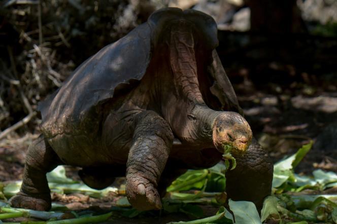 Diego est une tortue de la sous-espèce menacée «Chelonoidis hoodensis» de l'île d'Espanola, dans l'archipel des Galapagos.