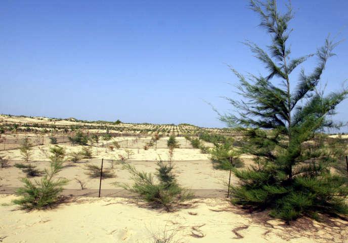 Une dune stabilisée par la plantation de filaos, près de Tivaouane, au Sénégal, en 2004.