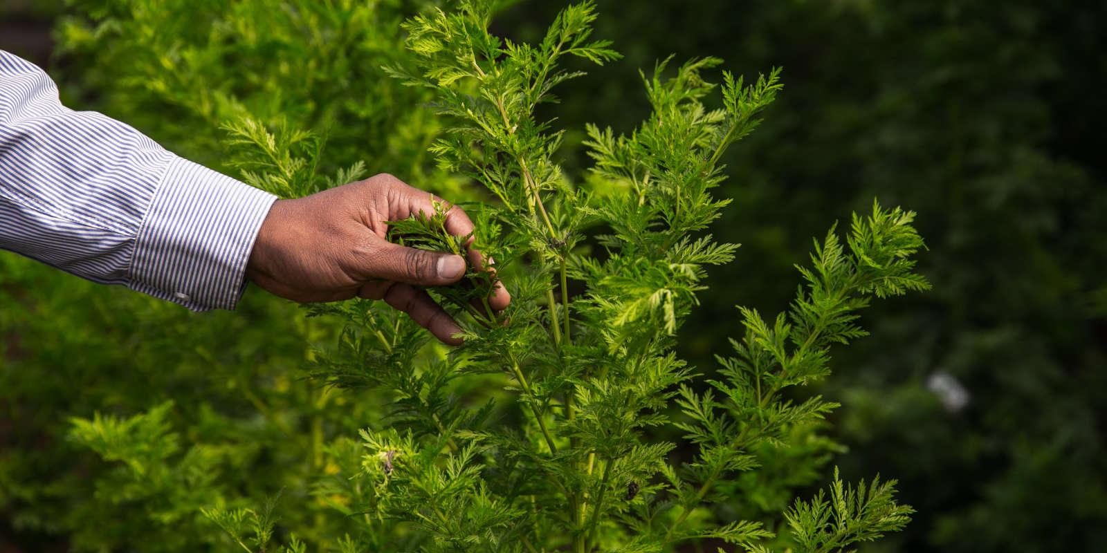 Un plan d'Artemisia annua cultivé àFaharetana, près d'Antananarive le 19 mai 2020.
