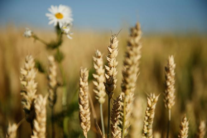 Dans un champ de blé, à Graincourt-lès-Havrincourt (Pas-de-Calais), à côté de Cambrai, le 22 juin.