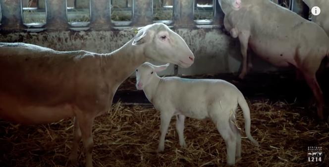 Capture d'écran du reportage de l'association L214 sur les agneaux d'Aveyron.