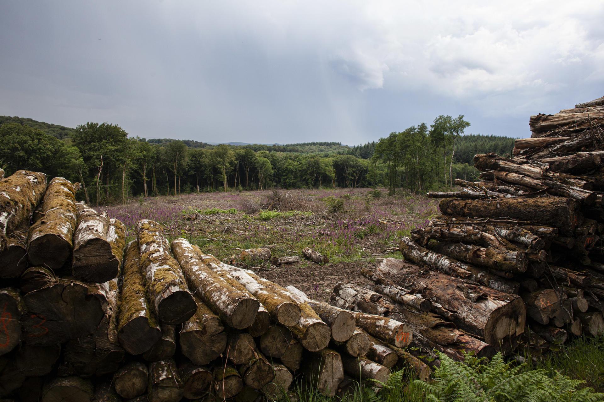 Le bois des feuillus stocké sur le site de la coupe rase, à Marigny l'Eglise, le 3 juin.