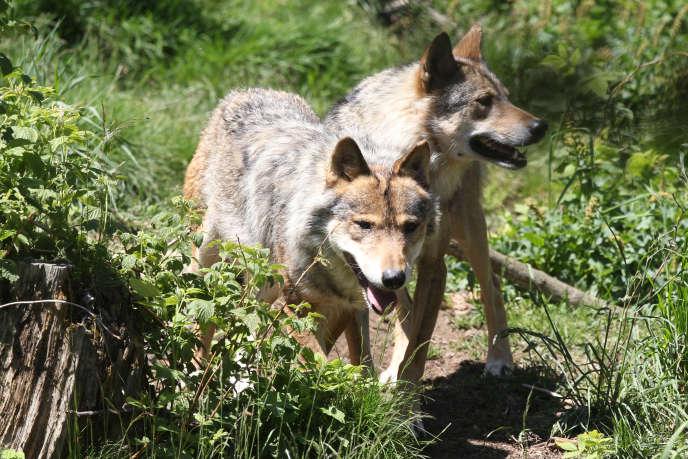 Des loups dans le parc animalier des Angles (Pyrénées-Orientales), le 18 juin 2015.