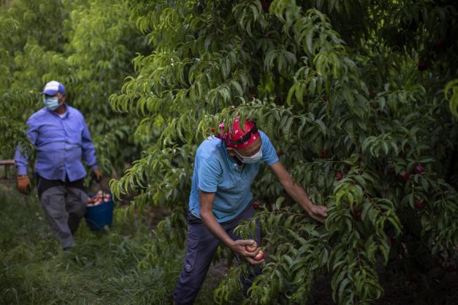 Des travailleurs bulgares ramassent des nectarines à Fraga, près de Lérida, en Espagne, le 2 juillet. Les autorités sanitaires espagnoles soupçonnent cessaisonniers agricoles d'être impliqués dans la survenue d'un foyer local d'infection.