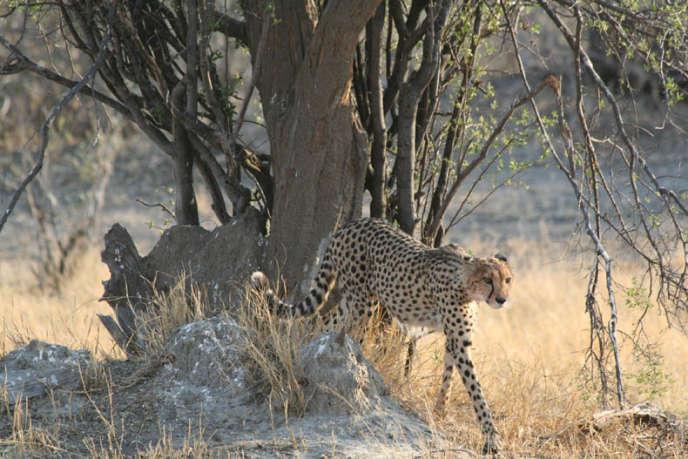 Il reste moins de 7000 guépards «Acinonyx jubatus» sur le continent africain, selon la dernière estimation fiable de l'UICN réalisée en 2008.