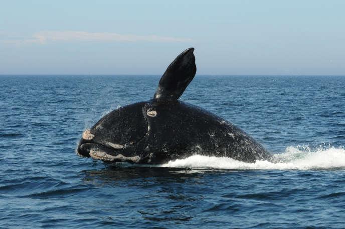Une baleine franche de l'Atlantique Norddans la baie de Fundy (Canada), le 21 août 2012.