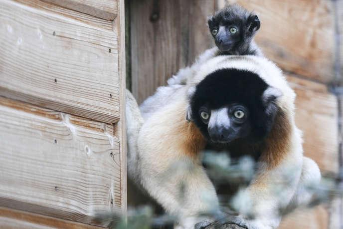 Une mère lémurien sifaka et son petit au zoo de Besançon, le 24 février 2020. Cette espèce sur la liste rouge de l'UICN classée en danger critique d'extinction.