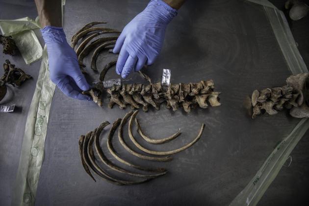 A la Commission internationale des personnes disparues, un légiste travaille à l'identification des restes d'une victime, à Tuzla, le 6 juillet.