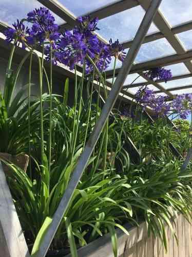 Ces élégantes plantes herbacées sont originaires d'Afrique du Sud.
