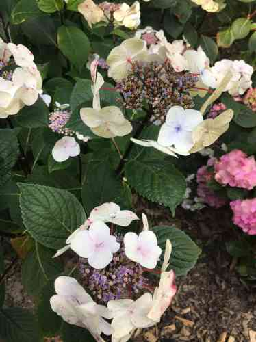 Le fruticetum (espace clos où sont conservées des collections d'arbustes) vient d'ouvrir, en juillet, au public. Les récents aménagements permettent d'ycontempler des variétés exceptionnelles d'hydrangeas.