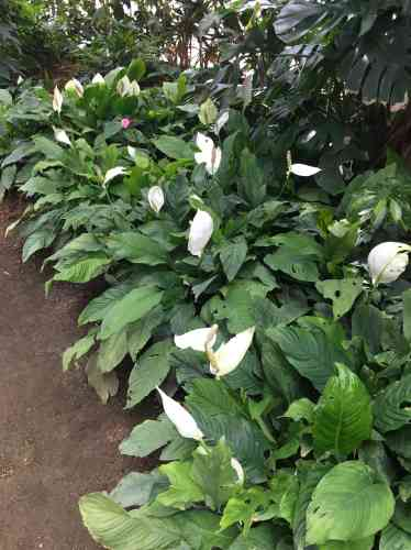 Ces plantes fleuries originaires d'Amérique latine s'épanouissent dans la grande serre tropicale de Terra Botanica.