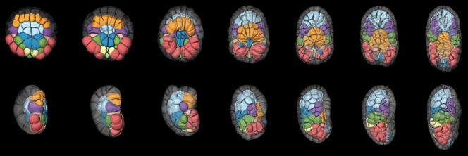 Six stades de l'évolution d'un embryon d'ascidie formé de cellules aux fonctions différentes : en rouge la future queue ; en violet, le tronc.