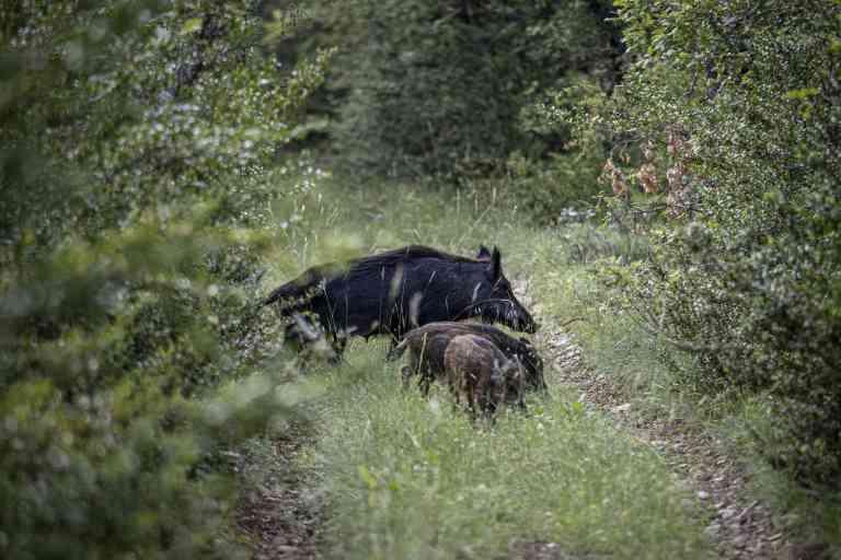 Ballade en fin de journée avec Rolland chasseur écolo, a la recherche de sanglier