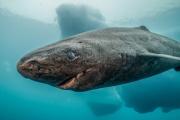 Un requin du Groenland plonge dans la mer Arctique, au large des côtes du Groenland.