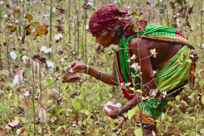 Récolte de coton équitable, à Kalahandi, dans l'Etat d'Odisha, en 2019.