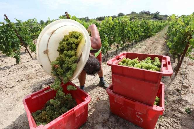 Vendange des raisins de muscat dans la vigne du Champ des Sœurs, à Fitou (Aude), le 28 juillet.