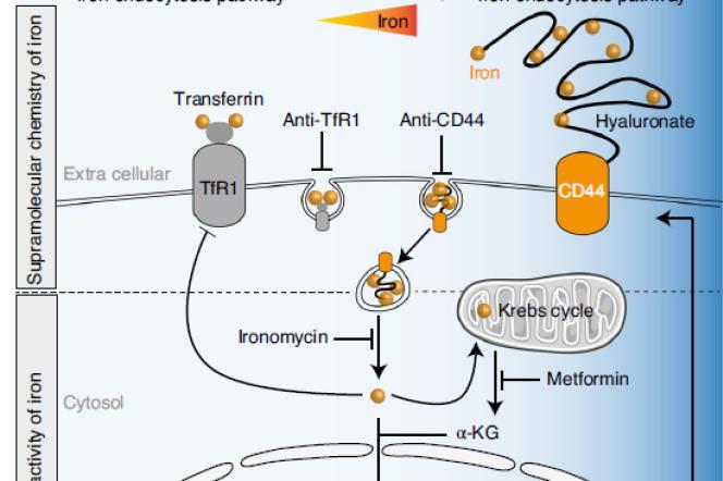 Schéma montrant le rôle de la protéine CD44 dans l'intrusion du fer dans les cellules.