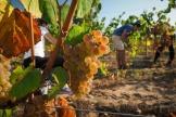 Le vignoble du château de Chambord pendant les vendanges, en septembre 2019.
