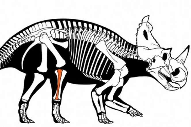 Dinosaure herbivore Centrosaurus apertus atteint d'un cancer osseux au péroné.