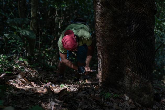 Arleudo Morais Farias,l'un des derniers seringueiros d'Amazonie, travaille dans la réserve Chico Mendes, au Brésil, le 28 juillet.