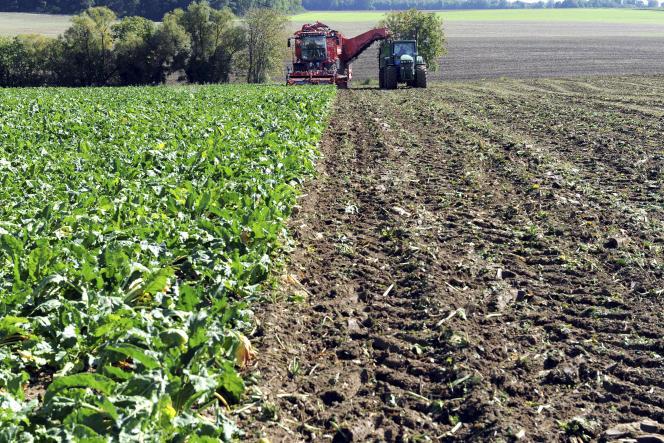 Deux machines agricoles récoltent des betteraves à sucredans un champ en Seine-et-Marne.