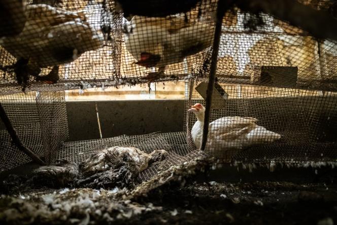 Des cadavres d'animaux en décomposition gisent dans des cages ou sur le sol, dans un élevage de la filière foie gras, dans les Pyrénées-Atlantiques.
