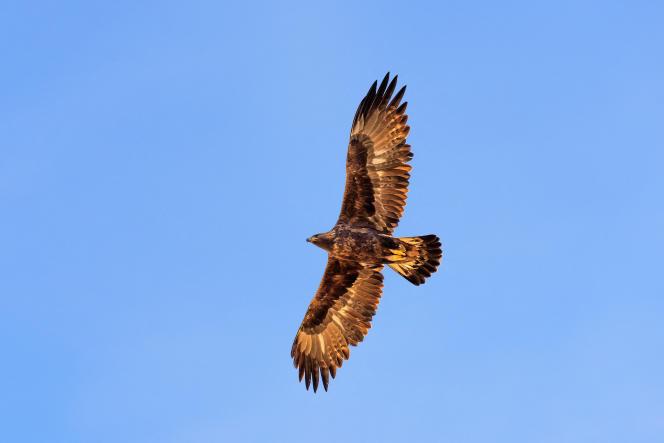 Un aigle royal, dans les Alpes.