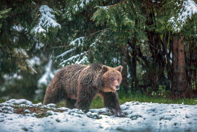 Pays modèle en la matière, la Slovénie, avec ses 60% de surfaces forestières, présentait dès 1931 un programme de protection des ours.
