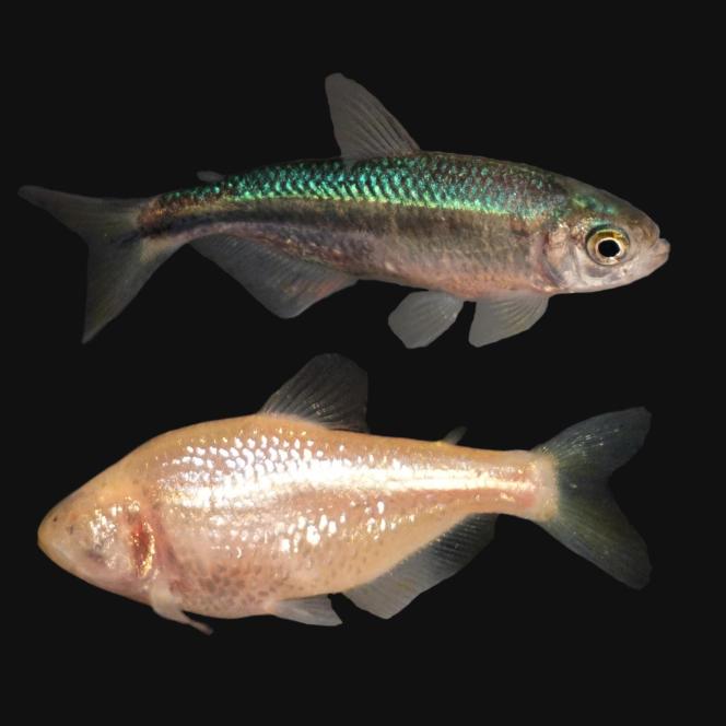 «Astyanax mexicanus», habitant des rivières (en haut) et son cousin, qui a colonisé des grottes et est devenu aveugle.