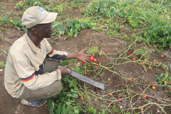 Jean Woulabonn, superviseur d'une exploitation de tomates à NyokonII, au Cameroun, en août 2020.