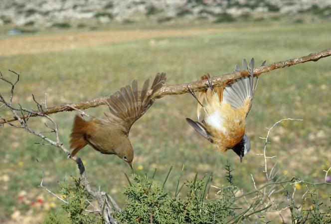 Rossignol philomèle et rougequeue à front blanc piégés selon la méthode de de la chasse à la glu, à Chypre.