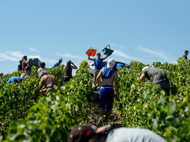 Les vendangeurs de la maison de champagne Robert Faivre au premier jour des vendanges à Cuchery (Marne), le 20 août.