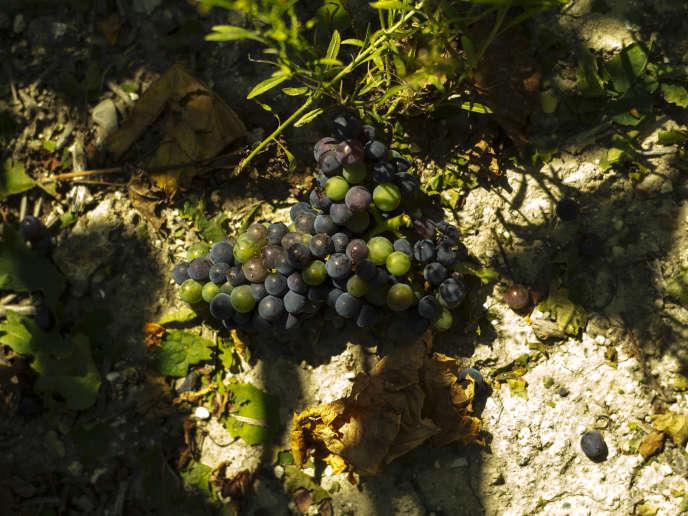 Une grappe de raisin non conforme à la vendange, lors de la premiere journée des vendanges en Champagne, le 20 août.