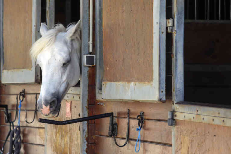 A horse stands in a box at a equestrian club in Les Yvelines, French department west of Paris, Friday, Aug. 28, 2020. Armed with knives, some knowledge of their prey and a large dose of cruelty, attackers are going after horses and ponies in pastures across France in what may be ritual mutilations. Police are stymied by the macabre attacks that include slashings and worse. Most often, an ear, usually the right one, has been cut off, recalling the matador's trophy in a bullring. (AP Photo/Michel Euler)