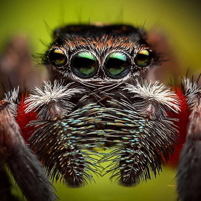 Une araignée sauteuse «Jotus auripes» mâle, en Australie.
