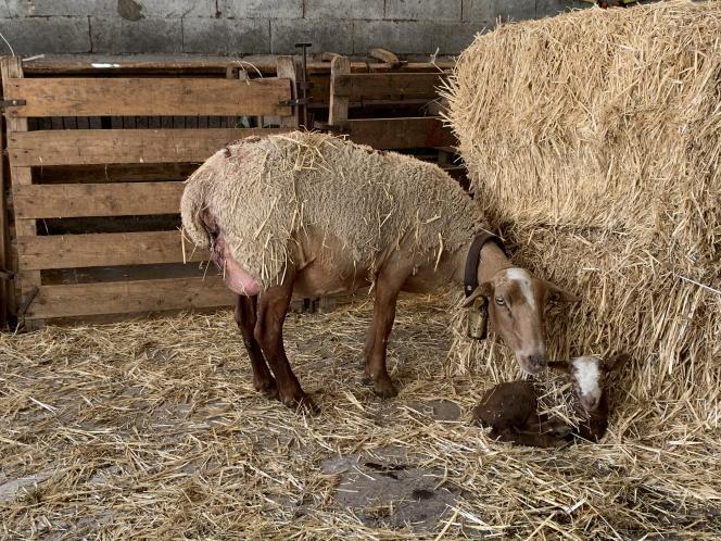 Une jeune mère de la race mourerous et son agneau de deux jours.