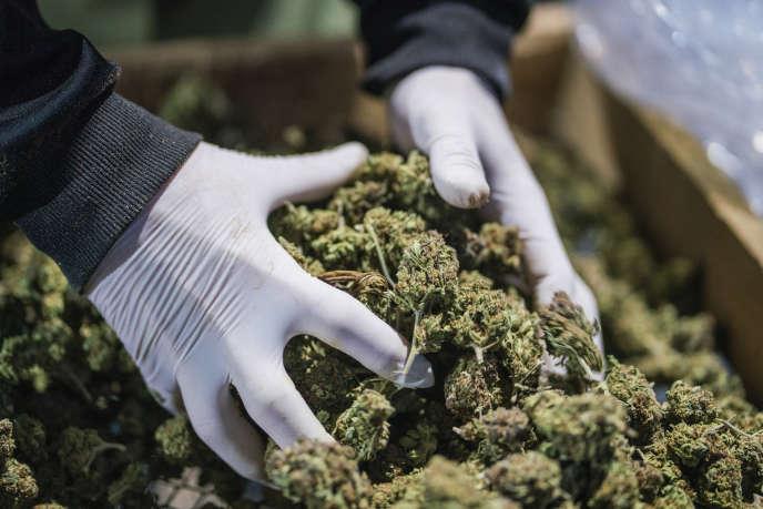 Un employé ramasse des têtes de cannabis dans une ferme de Tala (Uruguay), le 13août.