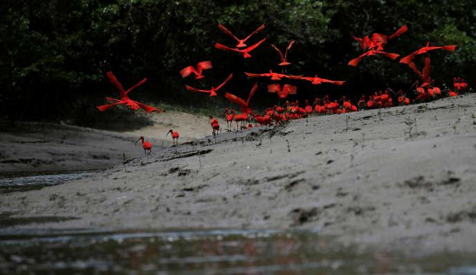 Des ibis écarlates dans des marais à mangroves, à l'embouchure de la rivière Calcoene, au nord du Brésil, en avril 2017.