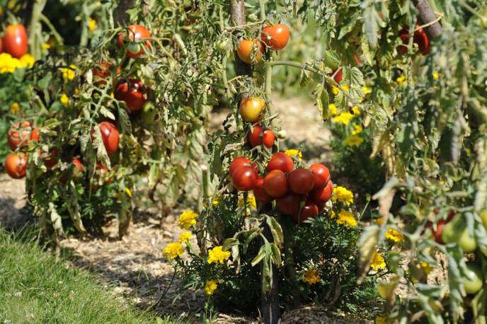 Festival de la tomate et des saveurs au château de la Bourdaisière, près de Tours.