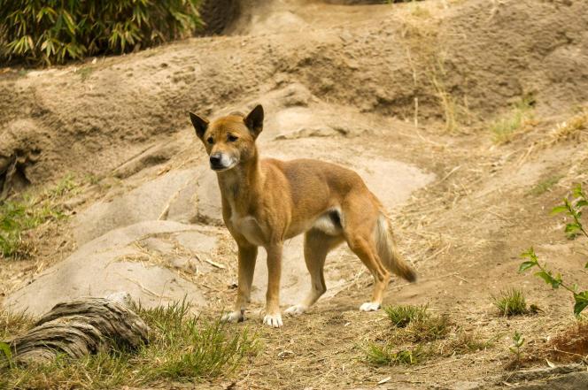 Observé pour la première fois en1897, le chien chanteur de Nouvelle-Guinée est une espèce très rare.