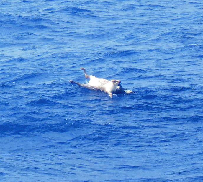 Cette photo publiée par les garde-côtes japonais montre le corps d'une vache flottant dans la mer de Chine orientale après le naufrage du cargo de bétail