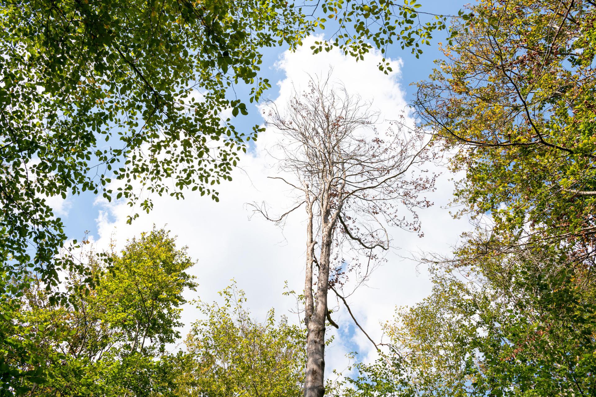 Dans un espace victime de la sécheresse, le feuillage des hêtres est clairsemé, dans la forêt de Compiègne (Oise), le 1er septembre.