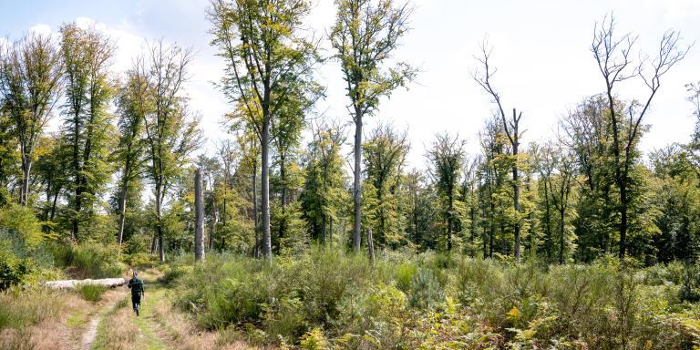 Forêt de Compiègne. Reportage pour Le Monde. Effet de la sécheresse et canicule sur les arbres. Zone sous surveillance, Hêtre mort.  © Christophe Caudroy