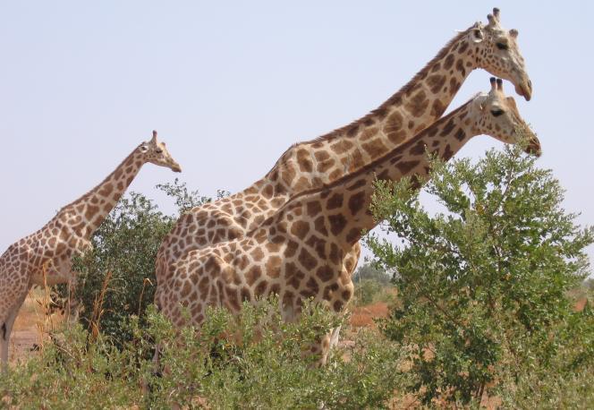 Des girafes peralta sauvages dans la réserve de Kouré, au Niger, en août 2010.