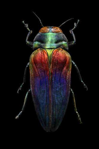 Ce spécimen a été découvert par le naturaliste et explorateur britannique Alfred Russel Wallace, en octobre 1859 et juin 1860, à Céram – une ville de l'archipel des îles Moluques, en Indonésie. Plusieurs années auparavant, Wallace avait élaboré une théorie de l'évolution presque identique à celle émise par Charles Darwin, ce qui a conduit à une publication conjointe présentant leur théorie pour la première fois.
