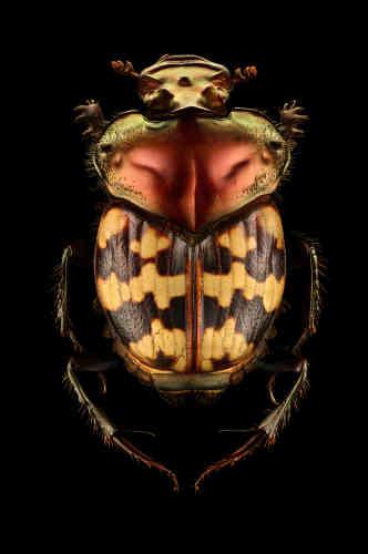 Cet insecte a survécuen passant d'une alimentation coprophage (matières fécales) à un régime alimentaire nécrophage (animaux morts).