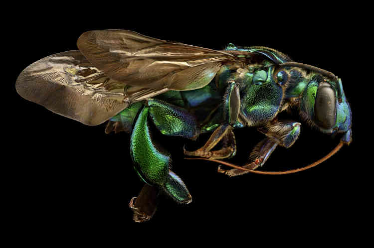 Au Brésil, cette abeille s'installe dans des nids déjà construits par d'autres femelles pour pondre ses œufs. Les larves évoluent ensuite, nourries du pollen recueilli par leurs« hôtes».