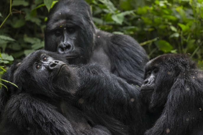 Des gorilles, en République démocratique du Congo, en 2013.