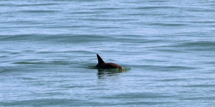 The vaquita, in the Gulf of California, in 2019.